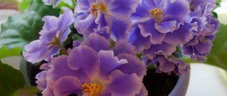 Красивая-фиалка-голубой-туман-фото