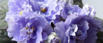 Красивое-цветение-фиалки-морской-волк-фото