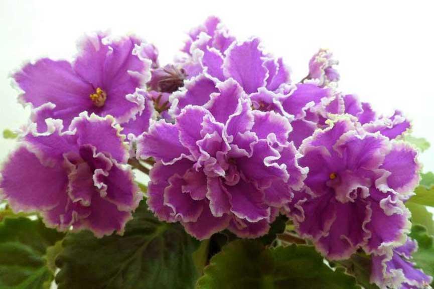 Цветение-ЛЕ-эсмеральды-фото