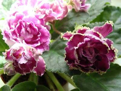 ледяная-роза-фото
