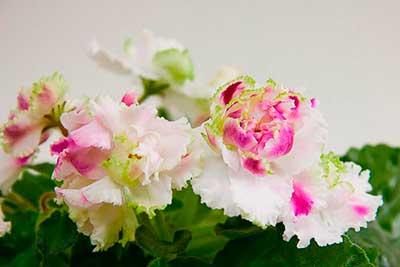 цветение-фиалки-ледяная-роза-фото