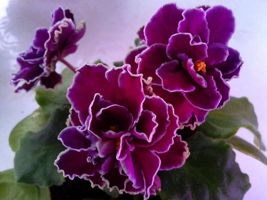 цветки-сенполии-шато-брион-фото