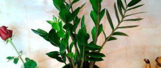 замиокулькас-и-долларовое-дерево-фото