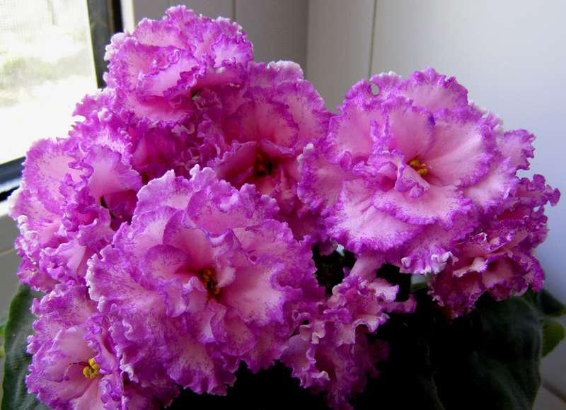 Красивое-цветение-фиалки-анжелика-фото