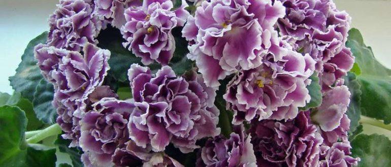 Цветение-фиалки-герцогиня-фото