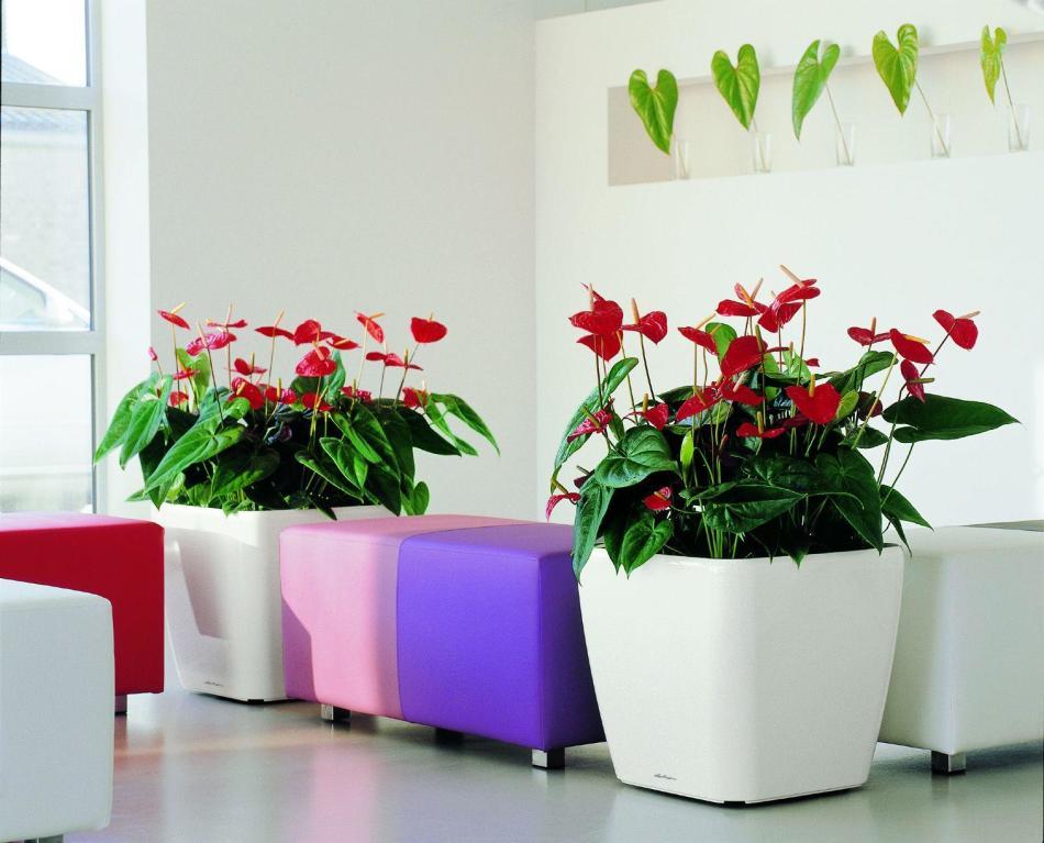 Почему не цветет антуриум в домашних условиях и что делать, чтобы цвел