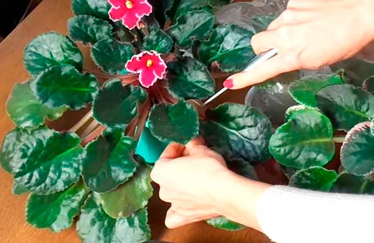 выращивание-фиалок-из-листа-в-домашних-условиях-2-фото