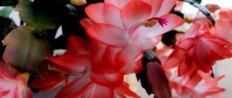 дкабрист-цветок-фото