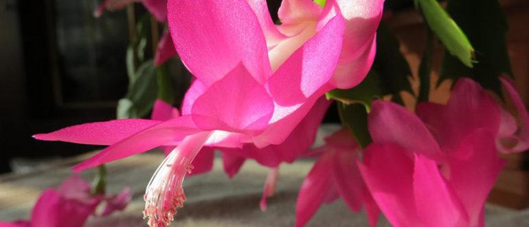 цветение-шлюмбергеры-розовым-цветом-фото