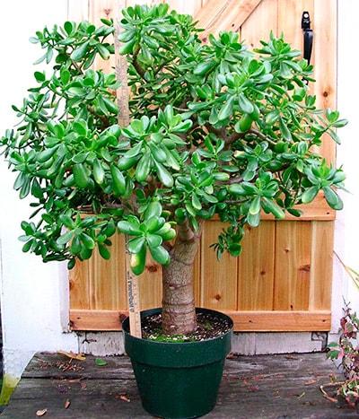 Денежное-дерево-красиво-растет-фото