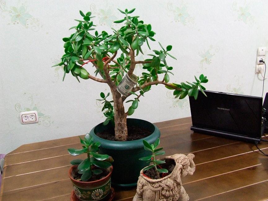 денежное-дерево-приметы-фото