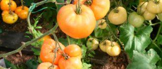 хурма-томаты-фото