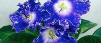 красивое-цветение-сияющего-колокольчика-фото