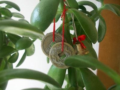листья-толстянки-с-монетками-фото