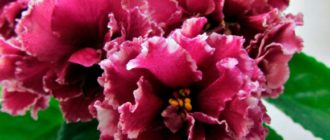 необычные-цветочки-Маджента-фото