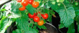 пиноккио-выращивание-вгоршке-фото