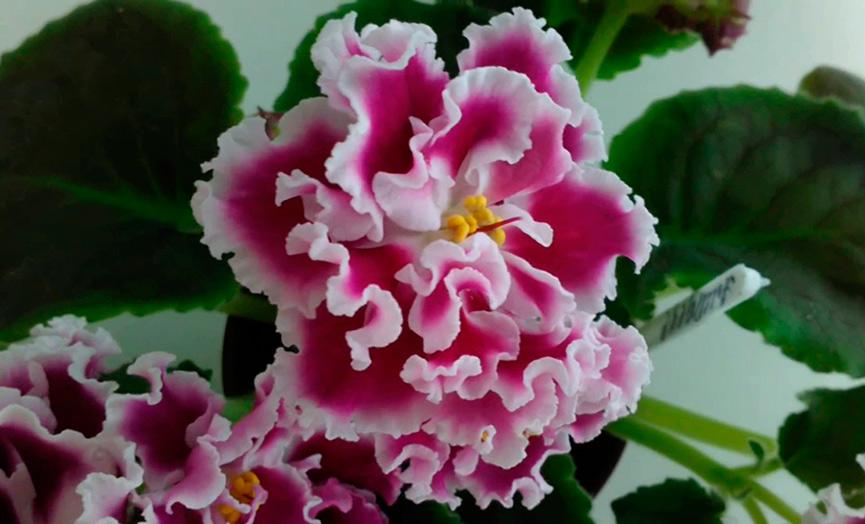 цветочек-фиалки-амадеус-фото