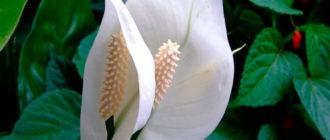 цветок-спатифиллиум-цветение-фото