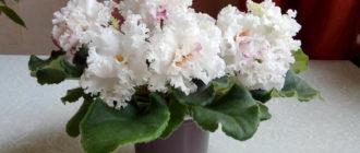 взбитые-сливки-цветение-фото
