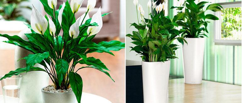 женское-счастье-растение-фото