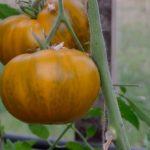 Малахитовая-шкатулка-томат-выращивание-фото
