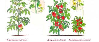 детерминантные-помидоры-особенности-фото