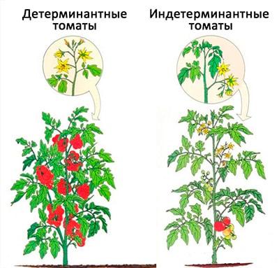 детерминантные-сорта-томатов-фото