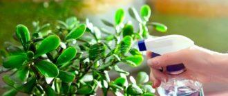 как-поливать-денежное-дерево-фото