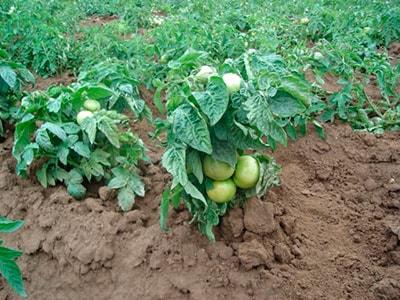 как-выглядят-детерменантные-томаты-фото