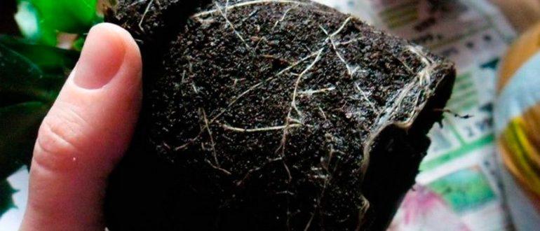 пересадка-декабриста-фото