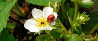 покоррмка-клубники-во-время-цветения-фото