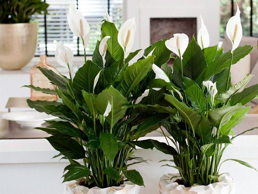 Виде, популярные цветы в доме для счастья
