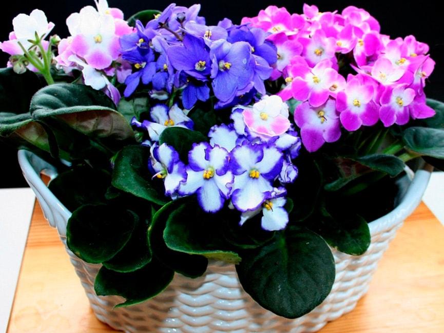 Цветение сенполий фото