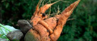 Корявая морковь фото