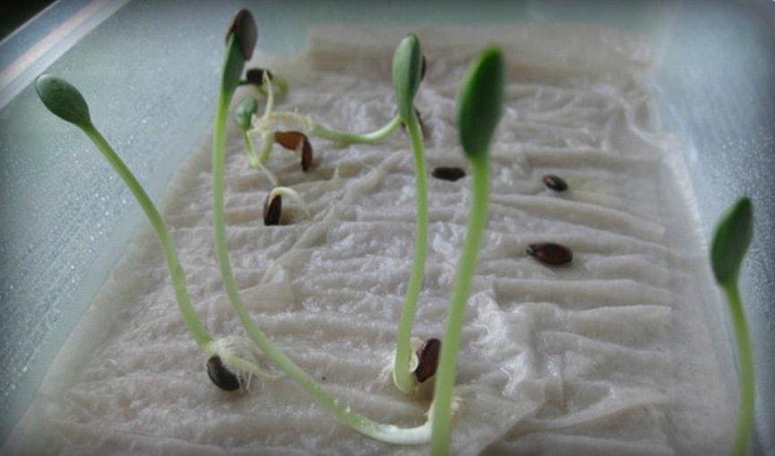 Как-прорастить-семена-на-салфетку-фото