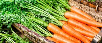 Урожай моркови фото