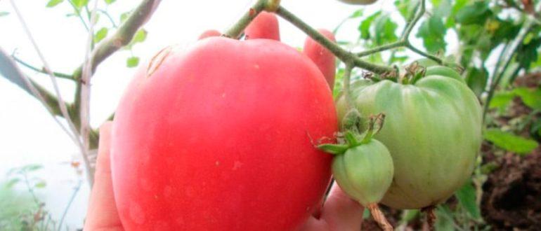 плод-томата-батяня-фото