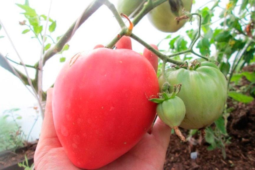 Высота стебля томатов сорта мечта огородника
