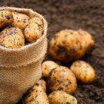 урожай-картофеля-фото
