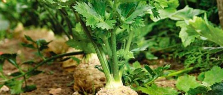выращивание-сельдерея-фото