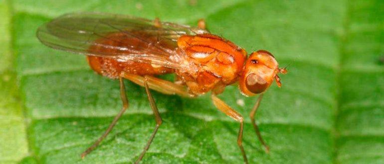 Морковная-муха-фото