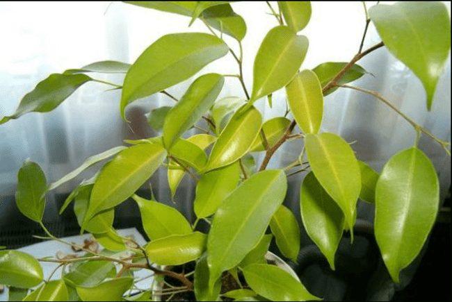 избыток подкормок причина сброса листьев у фикуса бенджамина