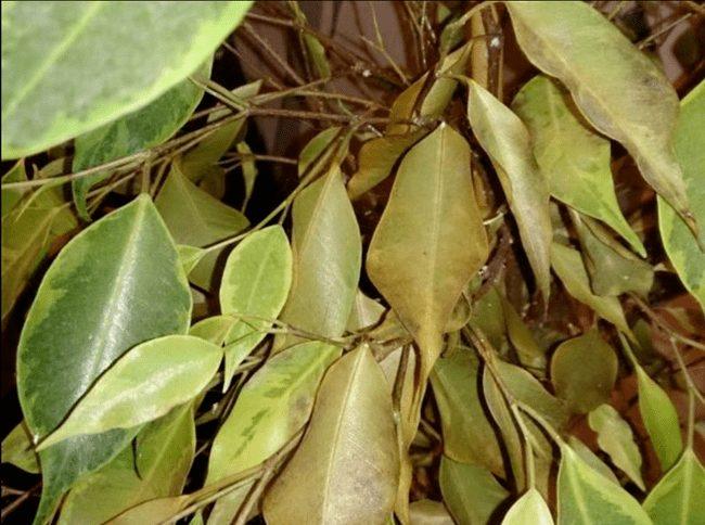 Нехватка удобрений у фикуса бенджамина и листья