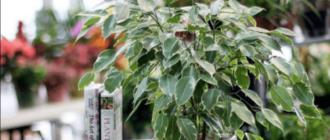 у фикуса бенджамина опадают листья