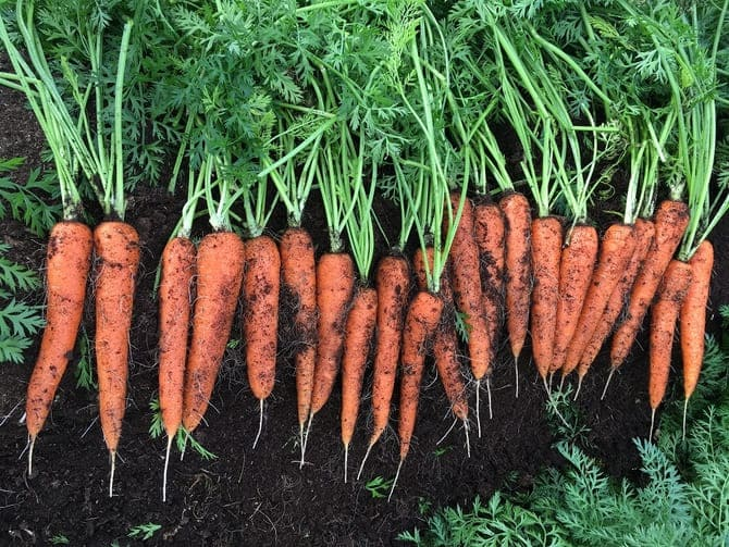 Фото уборки моркови