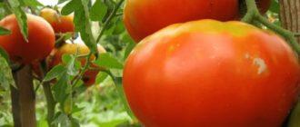 Король Королей гидрид томатов