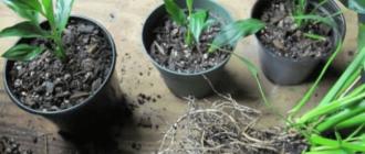 Размножение спатифиллума