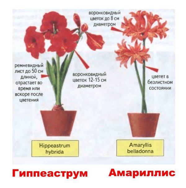 Основные отличия цветков амариллиса и гиппераструма