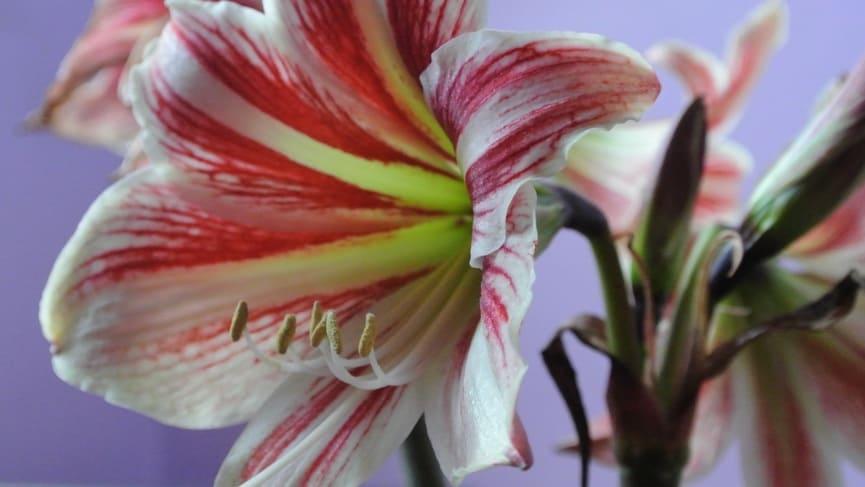 Как выглядит цветок амариллиса