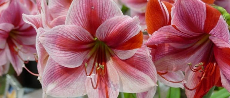 Какие бывают цветы у амариллиса